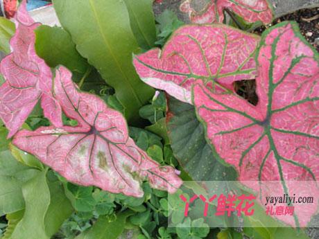 花叶植物的花纹消失了该怎么办?