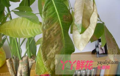 发财树叶子发黄的十三个原因及解决办法