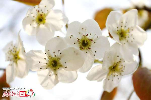 梨花进入盛开期