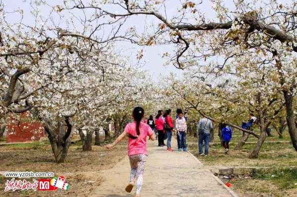 梨花进入盛开期 石家庄市民花海中享受春天