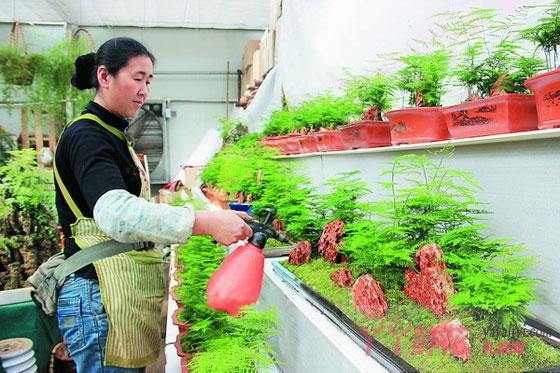 文竹的养护及养殖方法
