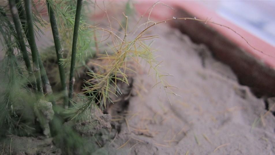 文竹发黄是什么原因引起的图片