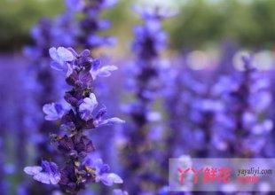 薰衣草的花语是什么?