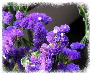 紫色勿忘我的传说