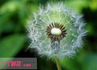 蒲公英的花语是什么?