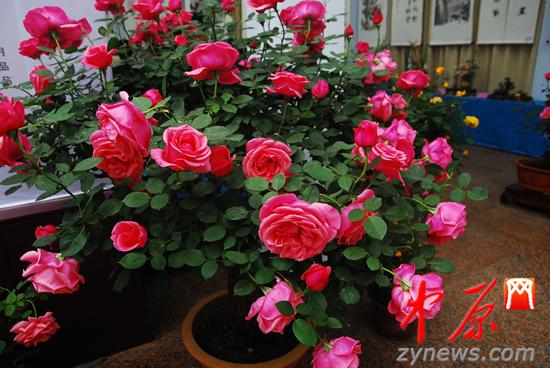 郑州第二十届月季花展开幕 持续至5月10日