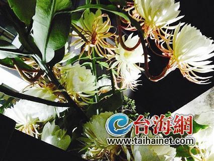 厦门一株昙花树同时绽放30多朵鲜花 昙花飘香引来摄影家