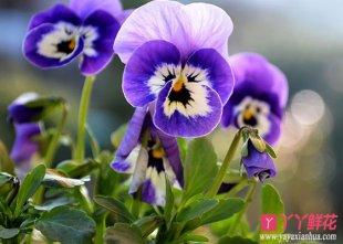紫罗兰的花语是什么?
