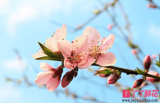 樱花花朵极其美丽,盛开时节,满树烂漫,如云似霞,是早春开花的著名观赏花木,花每支三五朵,成伞状花序,花瓣先端有缺刻,花色多为白色、粉红色。花于3月与叶同放或叶后开花。很多人选择种植在家居庭院中,下面我们来看看樱花的养殖方法: