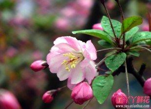 樱花病虫害及解决方法