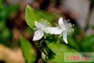 白花紫露草的栽培技术