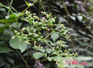 绞股兰的繁殖与栽培