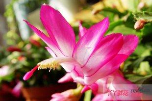 蟹爪兰与仙人指的栽培及花期控制