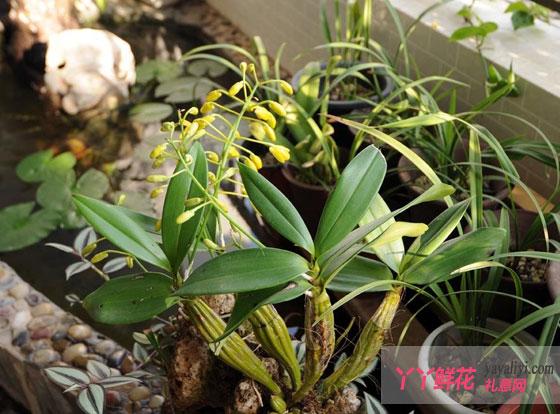 """查看:   兰花属兰科,是单子叶植物,为多年生草本。高20一40厘米,根长筒状。叶自茎部簇生,线状披针形,稍具革质,2至3片成一束。      (1)基质过湿或过干 阳台养兰与地面差别甚大。   地面上的兰盆直接与大地相通,能维持潮润,又因空气湿度大,养兰就容易养好。而阳台养兰,全靠人工调节,光照强,湿度低,管理不当,就容易造成过湿或过干或因土壤板结,不透气,容易产生病菌。这里,我引清末区金策所着《岭海兰言》的一段论述作为恰当的分析:""""兰在气交之中,藉阴阳以生,而阴阳有偏胜,则兰病矣!凡病于阳"""