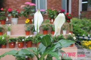 白掌花的习性及其养殖方法