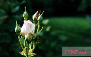 玫瑰的栽培管理要点