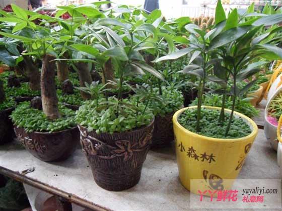 浙江:平阳婚庆 搬家增多花卉销量上涨