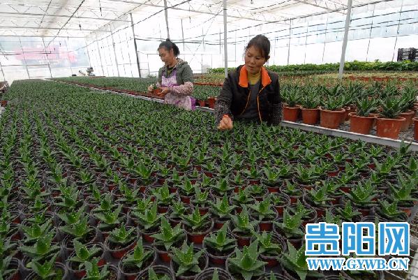 """贵州:乌当""""羊昌花卉""""两节期间将准备10万盆鲜花上市"""