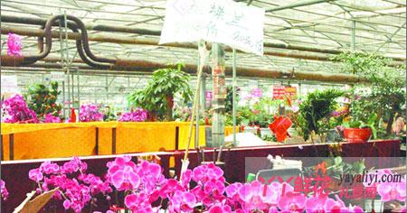 广州今年年宵花卉预计价难大涨
