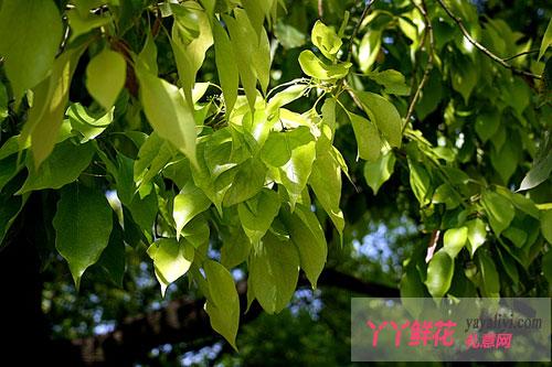 新植香樟叶片黄化如何补救