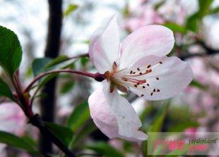 樱花的病虫害及其防治