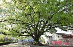 香樟树夏秋季病虫害防治