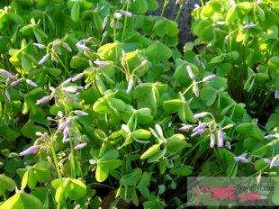 红花酢浆草病虫害防治方法