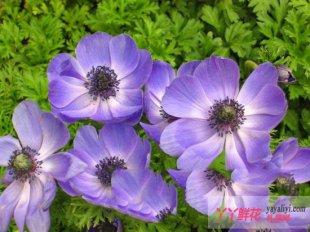 银莲花常见病虫害防治方法