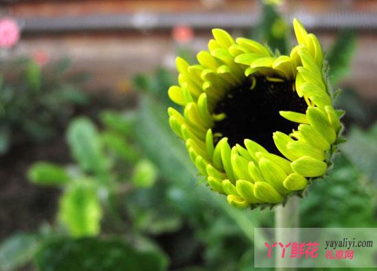 清明节将至鲜花价格上扬 非洲菊备受追捧