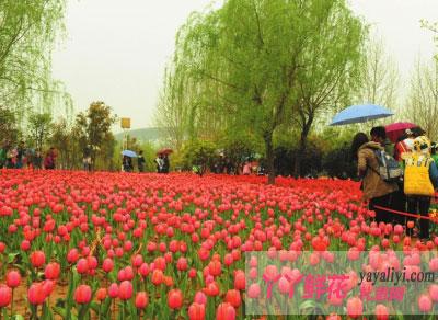 河南:郑州绿博园百万株郁金香争相绽放