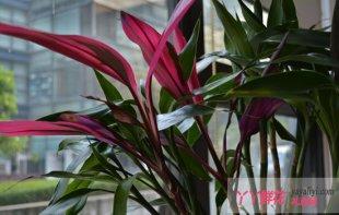 富贵竹的种植繁殖与习性