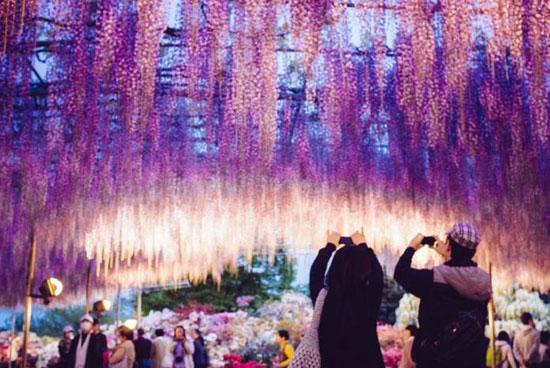 日本144岁紫藤花开 犹如紫色瀑布