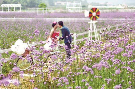 蔡甸3000亩马鞭草鲜花盛开