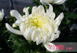 切花菊的繁殖管理