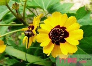 蛇目菊的栽培种植与习性
