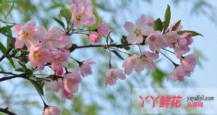 垂丝海棠繁殖技术