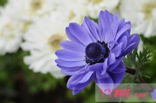 银莲花的切花栽培方法