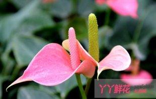 粉掌的栽培与养护