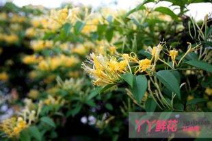 金银花的丰产栽培技术