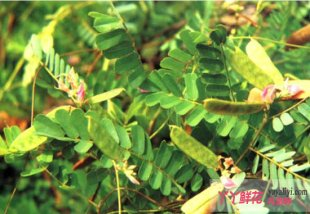 鸡骨草种子繁殖方法