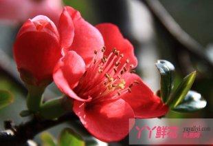 海棠花如何栽培