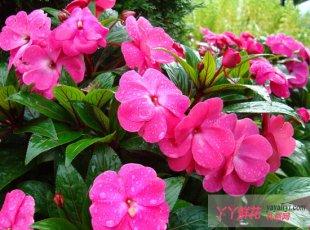 凤仙花栽培种植方法