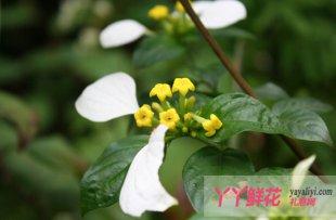 玉叶金花的繁殖管理技巧与方法