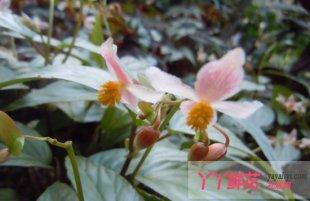 观叶秋海棠栽培要点