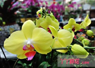 蝴蝶兰的家庭栽培