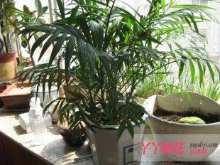 袖珍椰子的繁殖管理