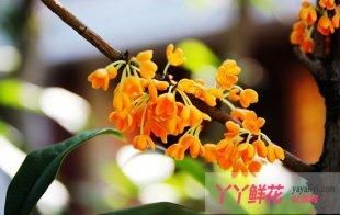 桂花常见病虫害的发生及防治
