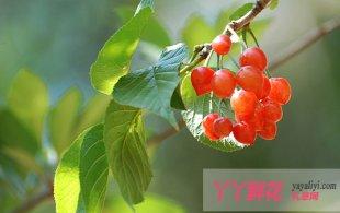 樱桃的繁殖和栽植