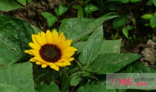 矮生向日葵栽培技术