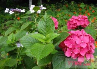 八仙花的栽培管理技术